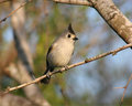 Tufted titmouse perching in a mesquite Stock Images