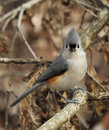 Tufted Titmouse Portrait Royalty Free Stock Photo