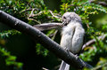 Tufted titmouse preening itself while perched in a tree Royalty Free Stock Photo