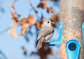 Tufted titmouse with a sunflower seed baeolophus bicolor in his beak at bird feeder in winter Stock Images