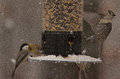 Tufted Titmouse Takes Off From A Snow-Covered Feeder