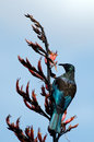 Tui bird of new zealand prosthemadera novaeseelandiae an endemic passerine Royalty Free Stock Photo