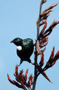 Tui bird of new zealand prosthemadera novaeseelandiae an endemic passerine Royalty Free Stock Images