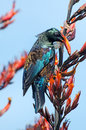 Tui bird of new zealand prosthemadera novaeseelandiae an endemic passerine Stock Images