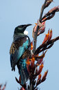Tui bird of new zealand prosthemadera novaeseelandiae an endemic passerine Stock Photography