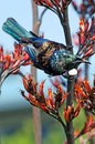 Tui bird of new zealand prosthemadera novaeseelandiae an endemic passerine Royalty Free Stock Photography