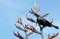 Tui bird of new zealand prosthemadera novaeseelandiae an endemic passerine Royalty Free Stock Photos
