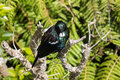 Tui bird resting on tree branch Stock Images