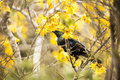 Tui feeding a bird native to new zealand perched and in a blooming kowhai tree Royalty Free Stock Photo