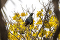Tui perched a bird native to new zealand and singing in a blooming kowhai tree Stock Photo