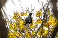 Tui perched a bird native to new zealand and singing in a blooming kowhai tree Royalty Free Stock Image