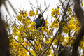 Tui perched a bird native to new zealand and singing in a blooming kowhai tree Royalty Free Stock Images