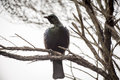 Tui perched a bird native to new zealand and singing on a tree branch Royalty Free Stock Photography