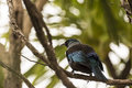 Tui perched a bird native to new zealand and singing on a tree branch Stock Images