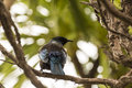 Tui singing a bird native to new zealand perched and on a tree branch Stock Photography