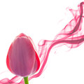 Tulip abstract background with design element on white Royalty Free Stock Photo