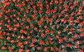 Tulip backgound Royalty Free Stock Photo