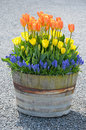 Tulip barrel planter Stock Image