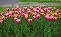 Tulip in bed close up pink tulips growing flowerbed Stock Photos