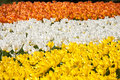 Tulip bed like a flag in srtipes with yellow white and orange tulips Royalty Free Stock Photos