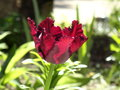 Tulip black and red tulips in my garden Royalty Free Stock Photo