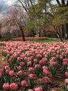 Tulip bloom in urban park Royalty Free Stock Photo