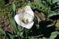 Tulip In Bloom