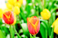 Tulip bloosom Royalty Free Stock Photos