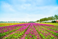 Tulip blosssom flowers cultivation field in spring holland or netherlands colorful blossom keukenhof europe Stock Photo