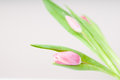 Tulip bud closeup of a pretty soft pink Stock Photography
