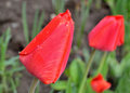 Tulip bud with drops of rain Royalty Free Stock Photo