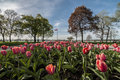 Tulip with canadian flag pink at the park withcanada on the background Royalty Free Stock Images