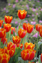 Tulip colourfull can growth in chiangrai thailand Royalty Free Stock Photography