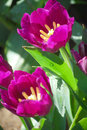 Tulip colourfull can growth in chiangrai thailand Royalty Free Stock Image