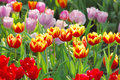 Tulip colourfull can growth in chiangrai thailand Stock Image