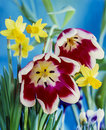 Tulip and dafodil in sping Stock Images
