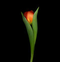 Tulip emerging Royalty Free Stock Image