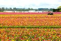 Tulip farm i woodburn oregon Arkivbild