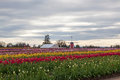 Tulip farm with windmill rows of bright tulips on a a tractor and canvas shelter in the background and a cloudy sky Stock Photography