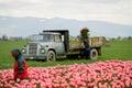Tulip farm workers Stock Photo