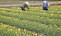 Tulip farm yellow with farmers in background Royalty Free Stock Image