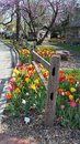 Tulip fence vertical image of a bed flanking a rustic wooden image taken at the festival held yearly at the ward meade park Royalty Free Stock Photography