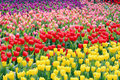 Tulip Field Royalty Free Stock Photo