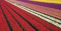 Tulip field 31 Stock Photo