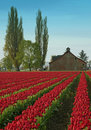 Tulip Field and Barn Royalty Free Stock Photo