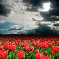 Tulip field in a cloudy day Royalty Free Stock Photo