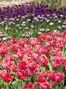 Tulip field colorful spring garden filled with tulips Royalty Free Stock Photography