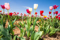 Tulip field in early summer with colorful tulips under a blue sky germany Royalty Free Stock Image