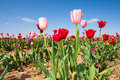 Tulip field in early summer with colorful tulips under a blue sky germany Stock Photo