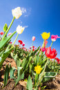 Tulip field in early summer with colorful tulips under a blue sky germany Royalty Free Stock Photos
